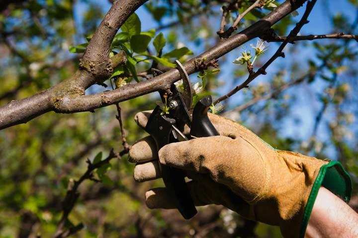 corso potatura alberi frutto foligno